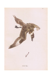 Arctic Tern Giclee Print by Robert George Talbot Kelly