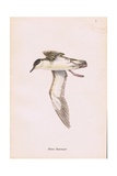 Manx Shearwater Giclee Print by Robert George Talbot Kelly