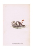 Young Black Guillemot in Autumn Giclee Print by Robert George Talbot Kelly