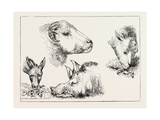 Heads of Boar and Sheep, 1873 Giclee Print by Edwin Landseer