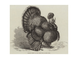 Crested Turkey at the Birmingham Poultry Show Giclee Print by Samuel John Carter