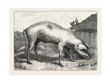 French Hog, 1873 Giclee Print by Edwin Landseer