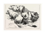Cows and Bulls, 1873 Giclee Print by Edwin Landseer