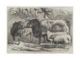 Prize Cattle and Sheep at the Royal Agricultural Society's Show, at Leicester Giclee Print by Samuel John Carter