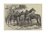 Group of Yearlings at Mr Blenkiron's Sale, Middle Park, Eltham, Kent Giclee Print by Samuel John Carter