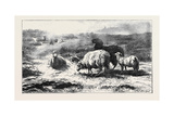 Sheep in a Landscape (Brittany), in the French Gallery Giclee Print by Rosa Bonheur