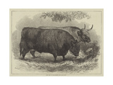 Prize Oxen at the Smithfield Club Cattle Show Giclee Print by Samuel John Carter