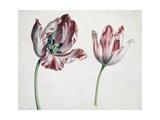 Tulpen Giclée-Druck von Simon Peeterz Verelst