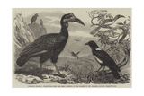 Abyssinian Hornbill Giclee Print by Thomas W. Wood