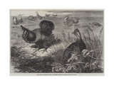 The Prairie Grouse in the Zoological Society's Gardens, Regent's Park Giclee Print by Thomas W. Wood