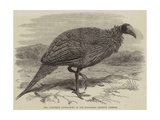 The Vulturine Guinea-Fowl in the Zoological Society's Gardens Giclee Print by Thomas W. Wood