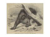 Circassian Bear, in the Gardens of the Zoological Society, Regent'S-Park Giclee Print by Thomas W. Wood