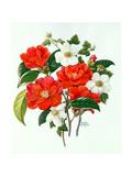 Camellia Adolf Audusson Giclee Print by Ursula Hodgson