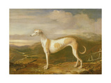 Greyhound Giclee Print by William Barraud