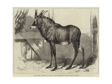 The Equine Antelope of Nubia, in the Gardens of the Zoological Society Giclee Print by William Carter