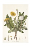 Leontoden Taraxacum from Flora Londinensis, 1777-1798 Giclee Print by William Curtis