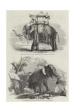 Indian Elephants Giclee Print by William Carpenter
