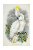 Blue-Eyed Cockatoo Giclee Print by William Hart