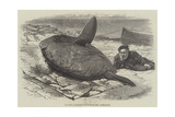 Sun-Fish Captured at Catalan Bay, Gibraltar Giclee Print by William Henry Pike