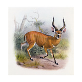 The Broad Horned Antelope, from 'The Book of Antelopes' Giclee Print by  Wolf & Smit