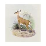 Antelope, from 'The Book of Antelopes' Giclee Print by  Wolf & Smit