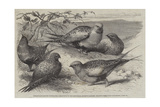 Pallas Sand-Grouse (Syrrhaptes Paradoxus) in the Zoological Society's Gardens, Regent's Park Giclee Print by William Stephen Coleman