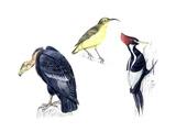 Birds: California Condor Giclee Print