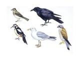 Birds: Skylark (Passeriformes Giclee Print