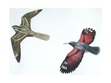 Birds: Nightjar Giclee Print