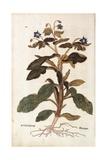 Borage - Borago Officinalis (Buglossum) by Leonhart Fuchs from De Historia Stirpium Commentarii Ins Giclee Print