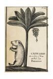 Capivard or Water Pig at Foot of Banana Tree Giclee Print