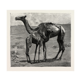 Camels from El-Teb Giclee Print