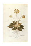 Cowslip - Primula Veris Officinalis (Verbasculum Odoratum) by Leonhart Fuchs from De Historia Stirp Giclee Print