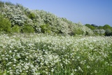 Flowering Cow Parsley (Anthriscus Sylvestris) and Hawthorn (Crataegus Monogyna) Hedge on Field Edge Photographic Print
