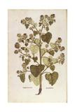 Greater Burdock - Arctium Lappa (Personatia) by Leonhart Fuchs from De Historia Stirpium Commentari Giclee Print