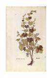 Grape Vine (Vitis Vinifera) by Leonhart Fuchs from De Historia Stirpium Commentarii Insignes (Notab Giclee Print