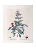 Fuchsia (Fuchsia Magellanica) Giclee Print