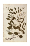 Honeysuckle (Lonicera Periclymenum) by Leonhart Fuchs from De Historia Stirpium Commentarii Insigne Giclee Print