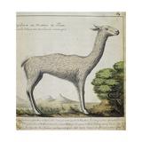 Llama Giclee Print