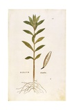Oleander (Nerium Oleander) by Leonhart Fuchs from De Historia Stirpium Commentarii Insignes (Notabl Giclee Print