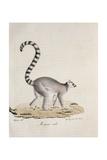 Ring-Tailed Lemur Giclee Print