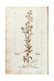 Rampion Bellflower - Campanula Rapunculus (Rapum Sylvestre) by Leonhart Fuchs from De Historia Stir Giclee Print