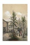 Sugar Can Farming Giclee Print
