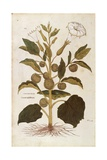 Thorn Apple or Jimson Weed - Datura Stramonium (Stramonia) by Leonhart Fuchs from De Historia Stirp Giclee Print