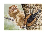Violin Beetle or Banjo Beetle (Mormolyce Phyllodes) Giclée-tryk