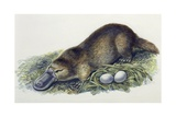 Close-Up of a Female Duck-Billed Platypus with Two Eggs (Ornithorhynchus Anatinus) Giclee Print