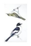 Birds: Passeriformes, Collared Flycatcher (Ficedula Albicollis) and Garden Warbler (Sylvia Borin) Reproduction procédé giclée