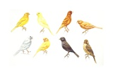 Birds: Passeriformes, Canaries (Serinus Canaria): Colourbred Canaries, Colour Mutations Giclee Print