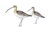 Birds: Charadriiformes, Eurasian Curlew (Numenius Arquata) and Whimbrel (Numenius Phaeopus) Impression giclée