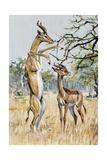Gerenuk or Giraffe-Necked Antelope (Litocranius Walleri), Bovidae Giclee Print
